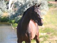 2017 Solomon Farm Riding Horses and Foals