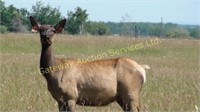 2017 Elk Trophy Bull & Breeding Stock Auction
