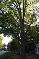 Large Old Trees Front Yard