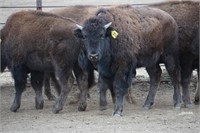 Bison on the Bear Online Only Auction