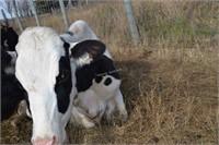 Dairy Herd Dispersal