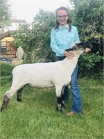 Marias Fair Livestock Auction