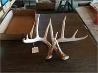BROWNED ARCHED LONG BROW TINES, 5 POINTS