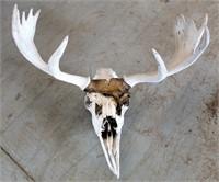 Antlers & Skull