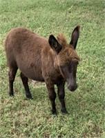 Minature Male Donkey