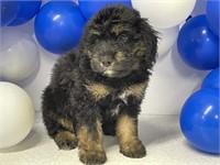 Mini Aussiedoodle Online Puppy Sale