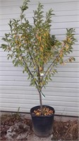 Tokai plum tree