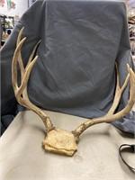 Western Washington set of deer horns. 18 inch