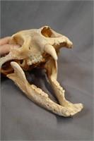 Old black bear skull