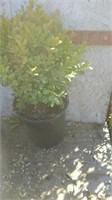 Online Nursery Plant Aucton 9/29
